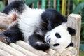 Baby Giant Panda Bear Royalty Free Stock Photo