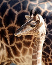 Baby Giraffe Royalty Free Stock Photo