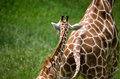 Baby giraffe follows mom a his mother across a field Royalty Free Stock Photography