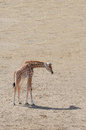 Baby giraffe with only his shadow for company Stock Photos