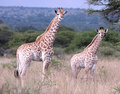 Baby giraffes Royalty Free Stock Images