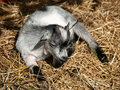Baby goat Royalty Free Stock Images