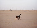 Baby goat in desert Royalty Free Stock Photo