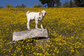 Baby Goat In Field Of Yellow F...