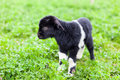 Baby goat in a grass field Stock Photos