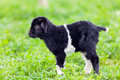 Baby goat in a grass field Royalty Free Stock Image