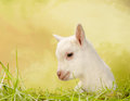 Baby Goat In Grass