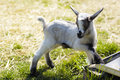 Baby goats in pasture young goat Stock Images