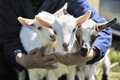 Baby goats in woman hands young Royalty Free Stock Photography