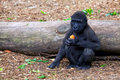 Baby gorilla eating a carrot at taronga zoo in sydney australia Stock Photo