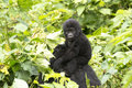 Gorilla baby on mother's back in the wild of mountain rainforest Uganda Royalty Free Stock Photo