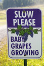 Baby Grapes Growing Royalty Free Stock Photography