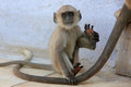 Baby gray langur playing at the temple pushkar india rajasthan Royalty Free Stock Images
