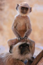 Baby gray langur sitting with mother pushkar india rajasthan Stock Photo