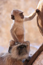 Baby gray langur sitting with mother pushkar india rajasthan Royalty Free Stock Photography