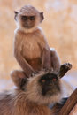 Baby gray langur sitting with mother pushkar india rajasthan Stock Photos