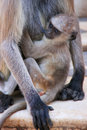 Baby gray langur sitting with mother pushkar india rajasthan Stock Images