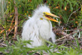 Baby Great Egret (Ardea alba) Stock Images