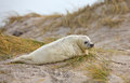 Baby grey seal Stock Image