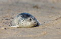 Baby grey seal Royalty Free Stock Photos