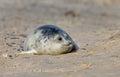 Baby grey seal Royalty Free Stock Photos