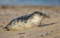 Baby grey seal Royalty Free Stock Image