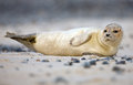 Baby grey seal Royalty Free Stock Images