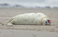 Baby grey seal Royalty Free Stock Photography