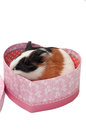 Baby guinea pig heart shaped box white brown black in pink gift with bow Stock Photo