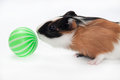 Baby guinea pig playing ball over white background Royalty Free Stock Image