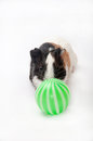 Baby guinea pig playing ball over white background Stock Image