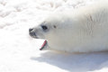 Baby harp seal this sits bathing on the north shore of prince edward island during a warmer day the hunting season is Royalty Free Stock Images