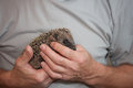 Baby hedgehog held in hands baba rests peacefully the of rescue home caregiver Stock Photo
