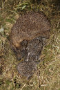 Baby hedgehog near his mother Stock Images