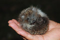 Baby hedgehog tiny in sombody s hand Stock Images