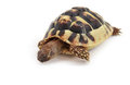 Baby hermann s tortoise on white background Stock Images