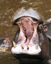 A baby Hippo and A hippopotamus Stock Images