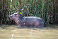 Baby hippo at the Isimangaliso wetland park, South Africa Royalty Free Stock Photo