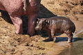 Baby hippopotamus Royalty Free Stock Photo