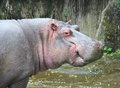 Baby hippopotamus in water cute Stock Photo