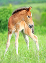 Baby horse. 1 day Stock Image