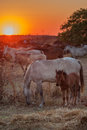 Baby horse and his mother resting in the pasture red fire sunsets front of magical Stock Photography