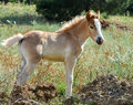 Baby horse isolated filly standing on grass and looking at camera Royalty Free Stock Photo