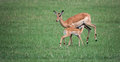 Baby impala drinking a by mother Stock Images
