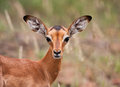 Baby impala looking alert Royalty Free Stock Photography