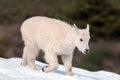 Baby Kid Mountain Goat Stickin...