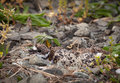 Baby Killdeer chick in nest with eggs Royalty Free Stock Photos