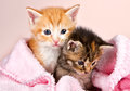 Baby kittens wrapped in a pink blanket Stock Image