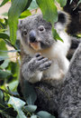 Baby koala among eucalyptus leaves in australia Stock Image