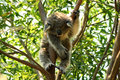 Baby koala sleeping in a tree Royalty Free Stock Photo